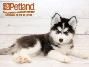 huskies for sale