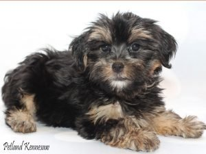 Yorkie Poos for sale