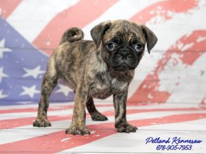 brindle pug puppies for sale