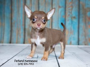 chihuahua for sale