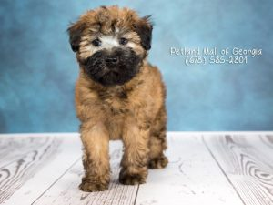 puppies for sale in atl
