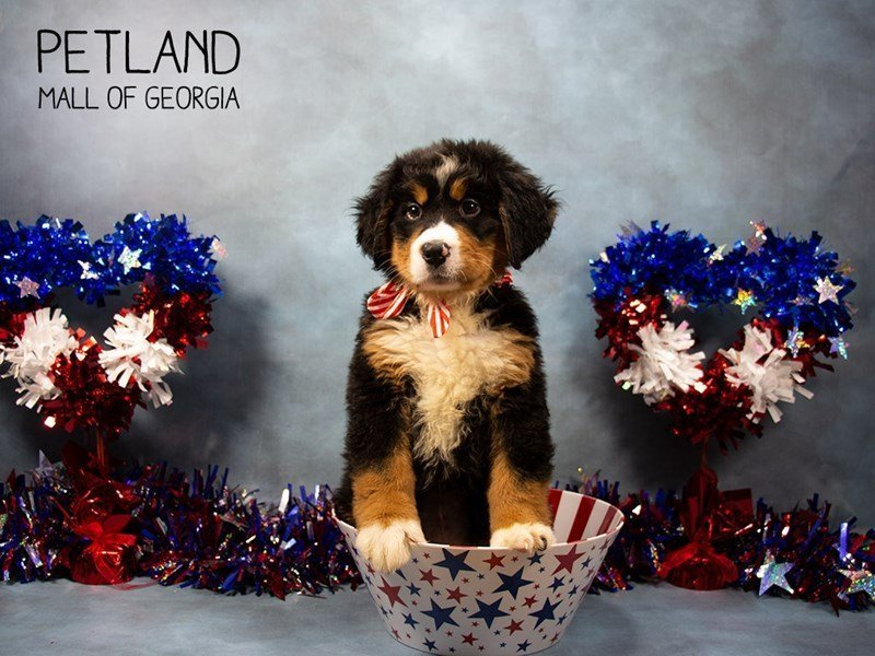 Bernese Mountain Dog-Female-Tri Color-2378544-Petland Mall of Georgia
