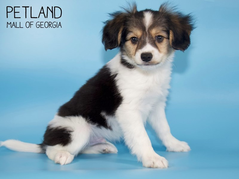 Papillon-Male-White / Sable-2717366-Petland Mall of Georgia