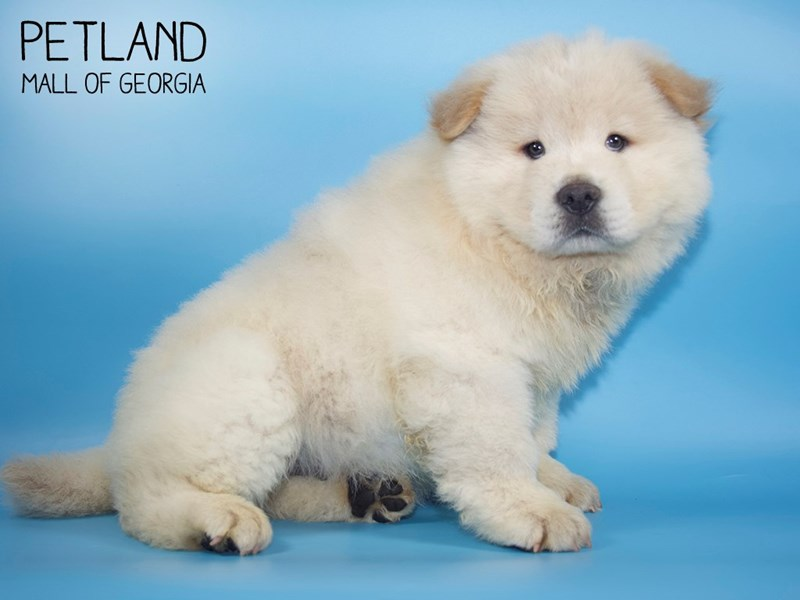 Chow Chow-Male-Cream-2756747-Petland Mall of Georgia