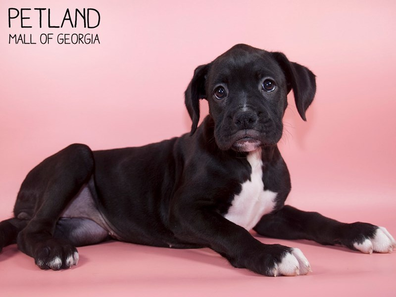 Boxer-Female-Black-2798220-Petland Mall of Georgia