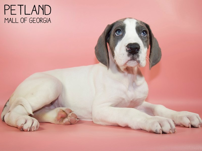 Great Dane-Female-Black / White-2828728-Petland Mall of Georgia