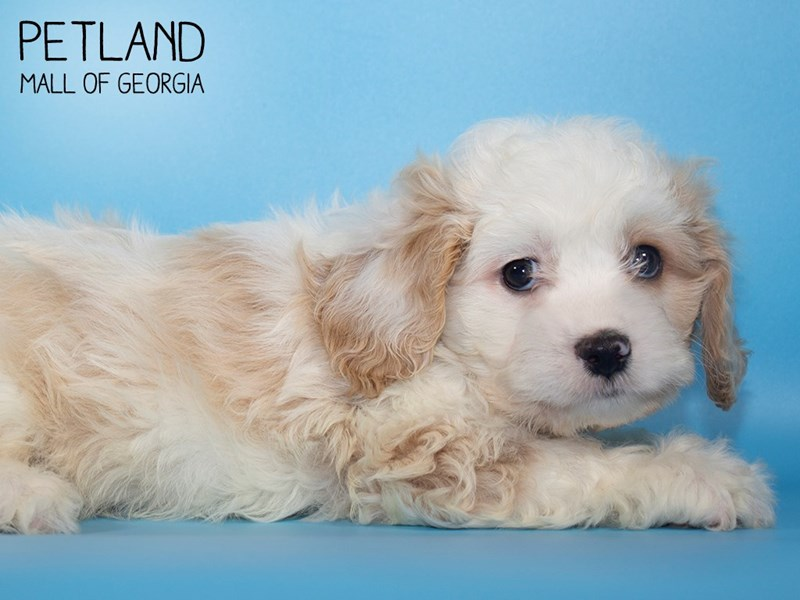 Cavachon-Male-BLENHEIM-2839166-Petland Mall of Georgia