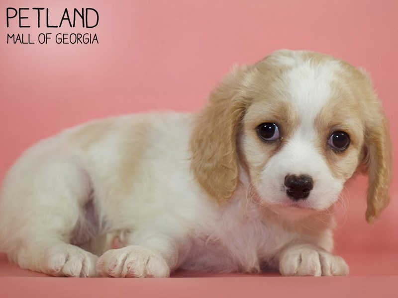 Cavachon-Female-BLENHEIM-2868581-Petland Mall of Georgia