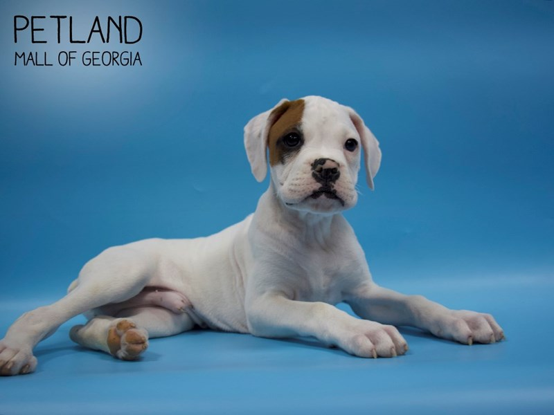 Boxer-Male-White-2858318-Petland Mall of Georgia