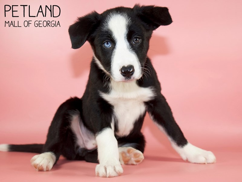 Border Collie-Female-Black / White-2879999-Petland Mall of Georgia