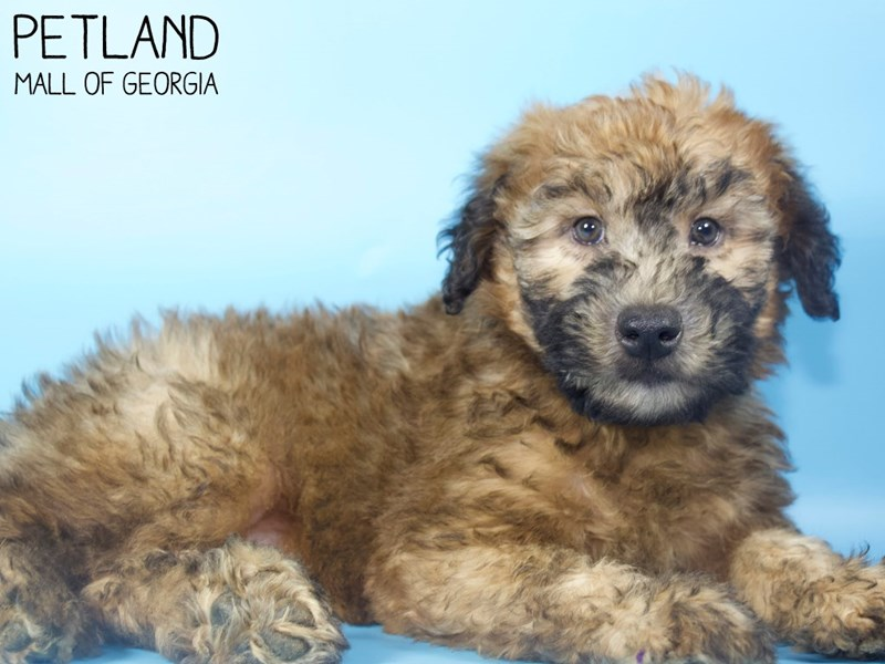 Soft Coated Wheaten Terrier-Male-Wheaten-2900372-Petland Mall of Georgia