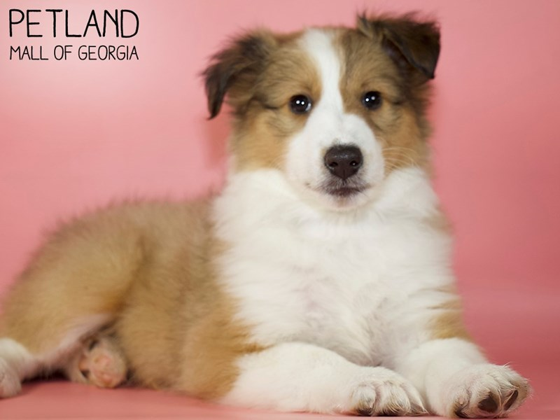 Shetland Sheepdog-Female-Sable / White-2914446-Petland Mall of Georgia