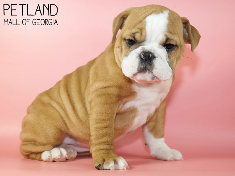 English Bulldog-Female-Red-2921582-Petland Mall of Georgia
