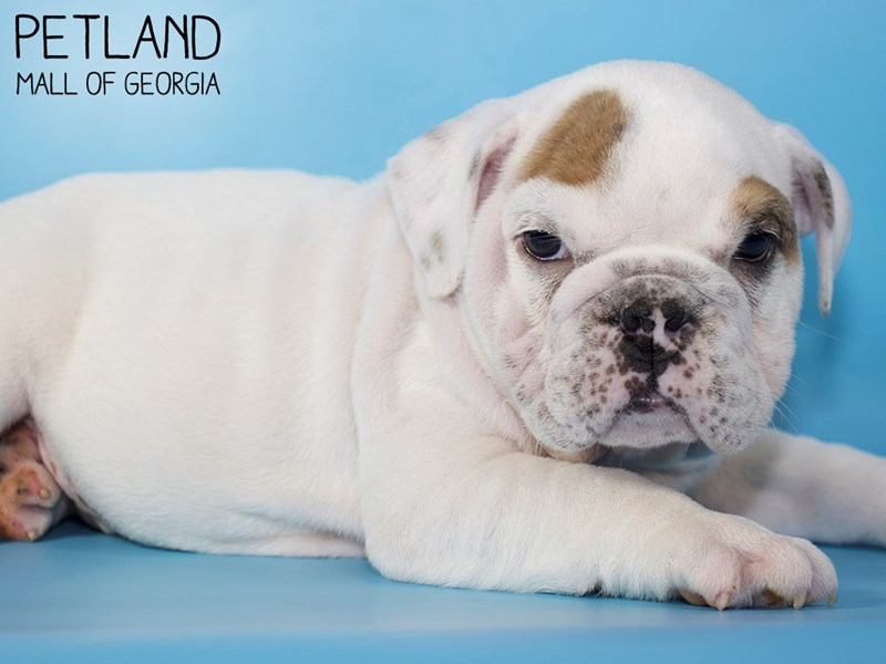 English Bulldog-Male-White-2928593-Petland Mall of Georgia