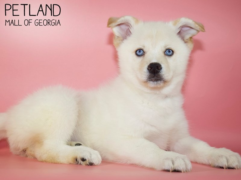 Pomsky-Female-Orange-2921712-Petland Mall of Georgia