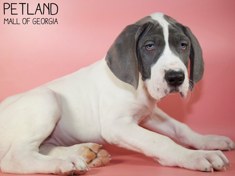 Great Dane-Female-Blue-2951363-Petland Mall of Georgia