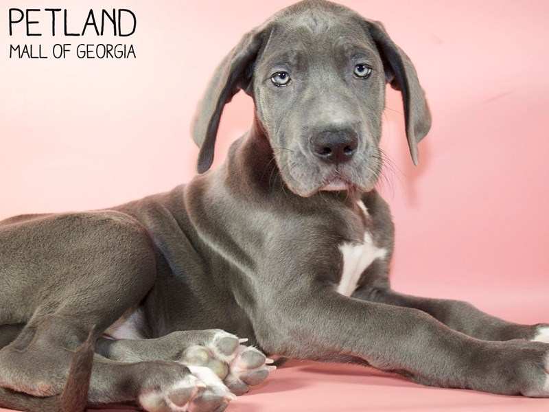Great Dane-Female-Blue-2951361-Petland Mall of Georgia