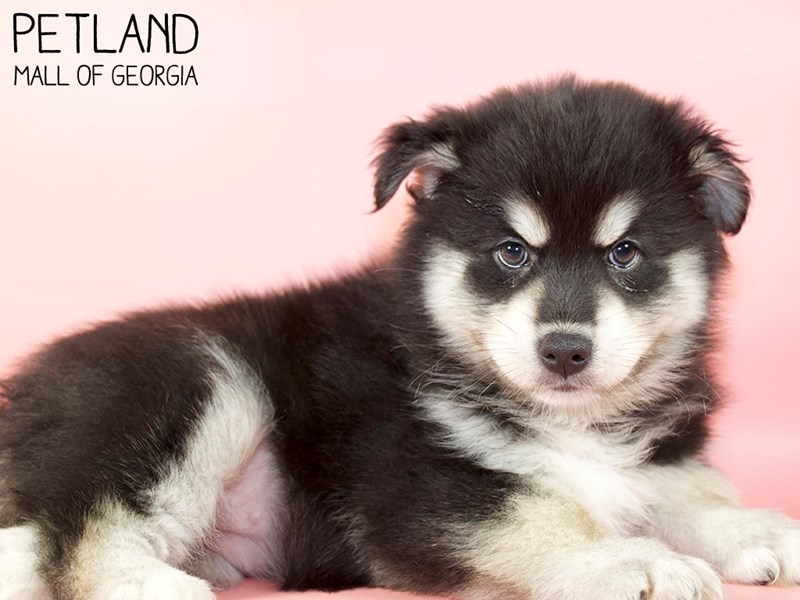 Pomsky-Female-BLK WHITE-2947213-Petland Mall of Georgia