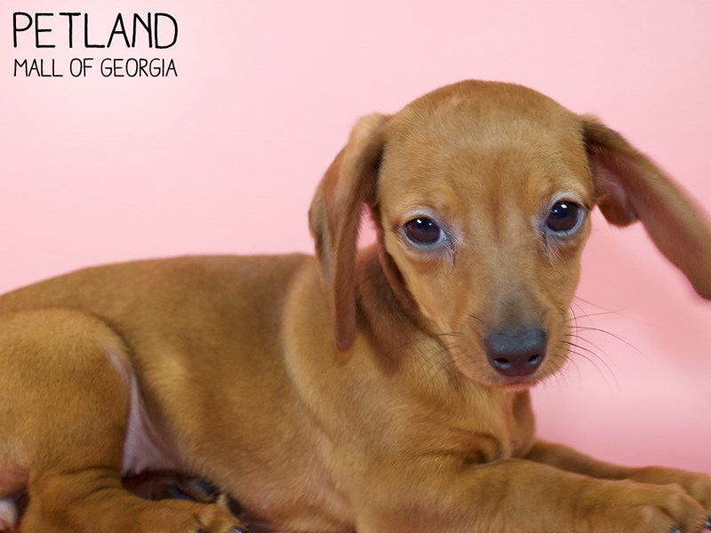 Dachshund-Female-RED-2947538-Petland Mall of Georgia