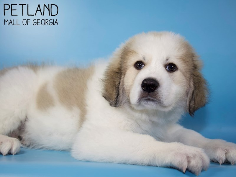 Great Pyrenees-Male-White-2959161-Petland Mall of Georgia