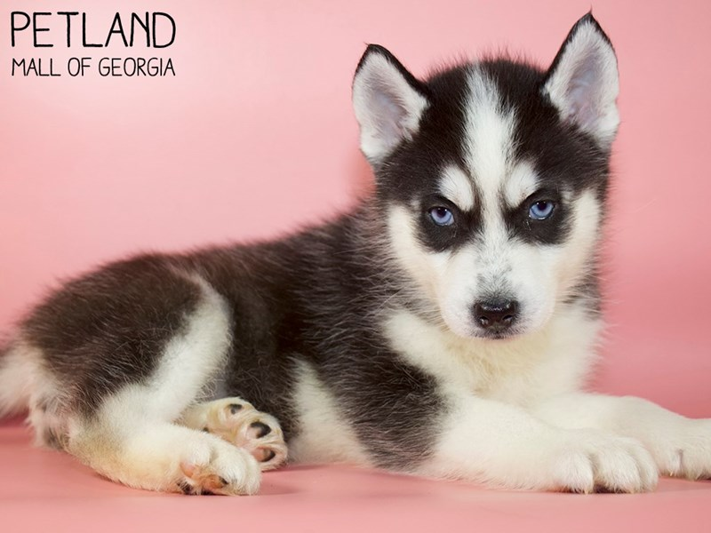 Siberian Husky-Female-Black / White-2959115-Petland Mall of Georgia