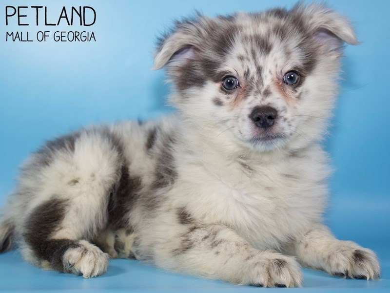 Pomsky-Male-Blue Merle-2959102-Petland Mall of Georgia