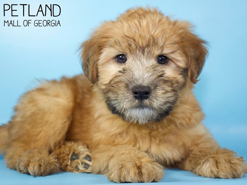 Soft Coated Wheaten Terrier-Male-Wheaten-2959100-Petland Mall of Georgia