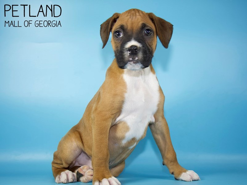 Boxer-Male-Fawn-2959099-Petland Mall of Georgia