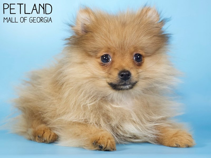 Pomeranian-Male-SABLE-2924782-Petland Mall of Georgia