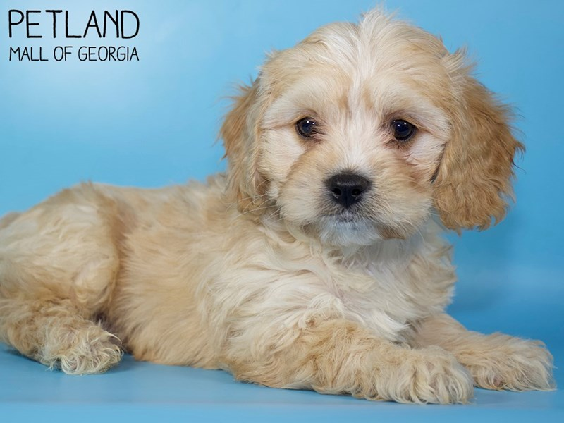 Cavachon-Male-RUBY-2954766-Petland Mall of Georgia
