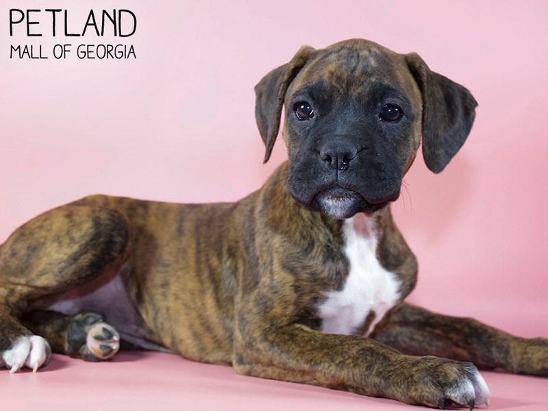 Boxer-Female-Brindle-2975721-Petland Mall of Georgia