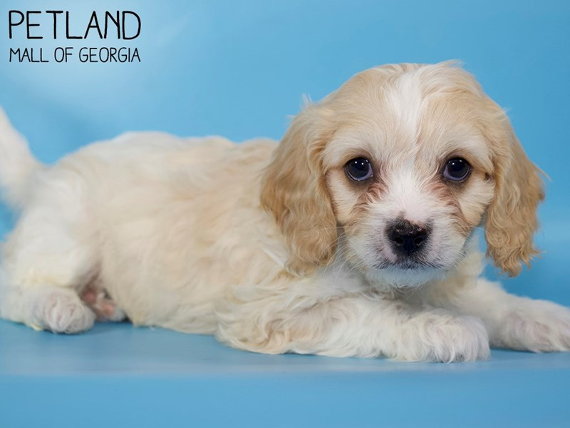 Cavachon-DOG-Male-BLENHEIM-2971561-Petland Mall of Georgia