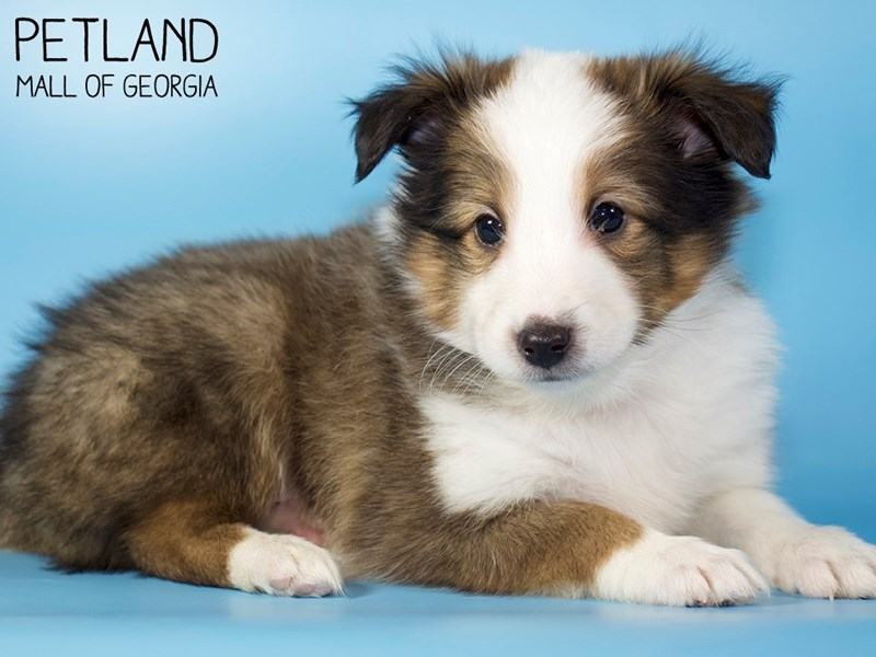 Shetland Sheepdog-Male-Sable / White-2984298-Petland Mall of Georgia