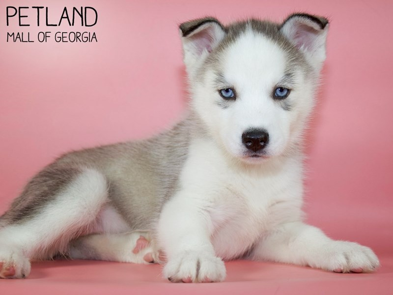 Siberian Husky-Female-Sable / White-2984296-Petland Mall of Georgia