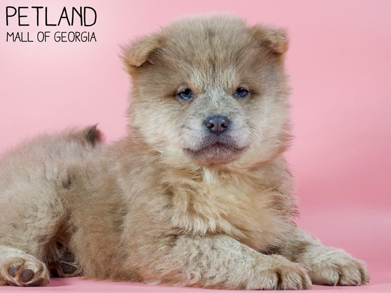 Chow Chow-Female-Cinnamon-2984295-Petland Mall of Georgia