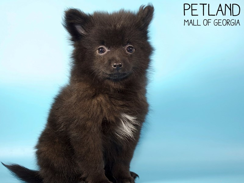 Pomeranian-Male-Black-2907262-Petland Mall of Georgia