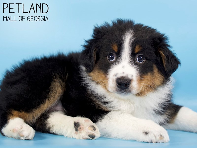 Australian Shepherd-Male-Black-2975797-Petland Mall of Georgia
