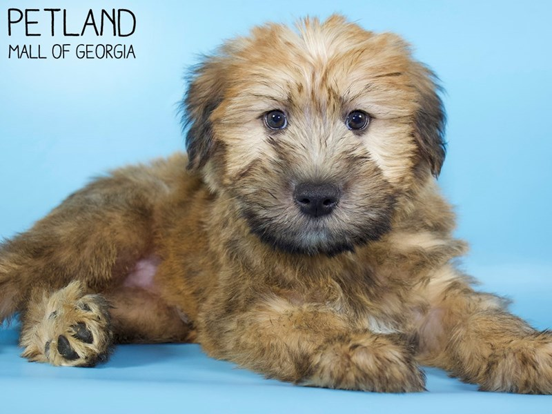 Soft Coated Wheaten Terrier-Male-Wheaten-2975730-Petland Mall of Georgia