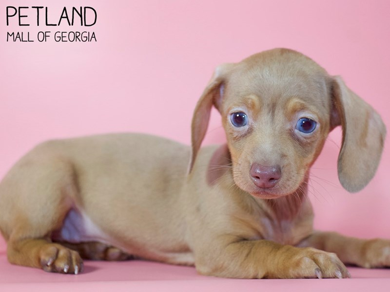 Dachshund-Female-DAPPLE-2971492-Petland Mall of Georgia