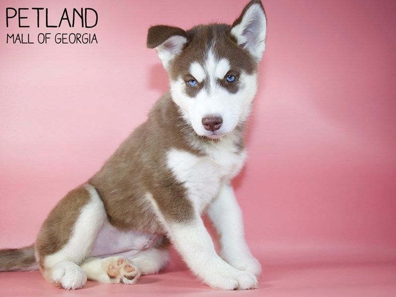 Siberian Husky-Female-Red & White-2971497-Petland Mall of Georgia