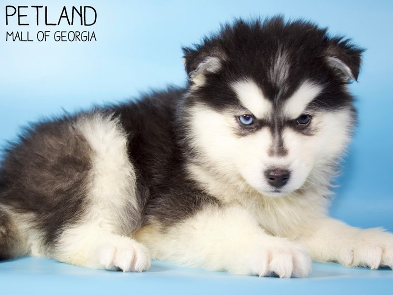 Pomsky-Male-Black & White-2979833-Petland Mall of Georgia