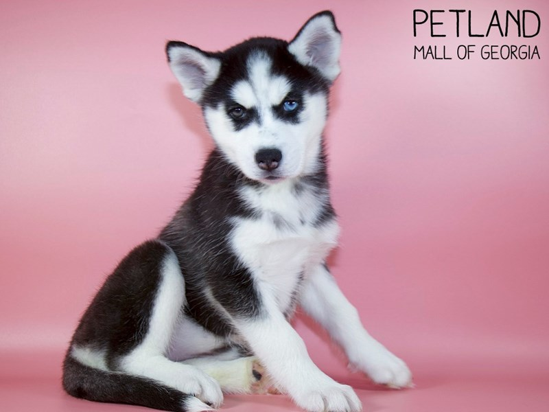 Siberian Husky-Female-Black / White-2993262-Petland Mall of Georgia