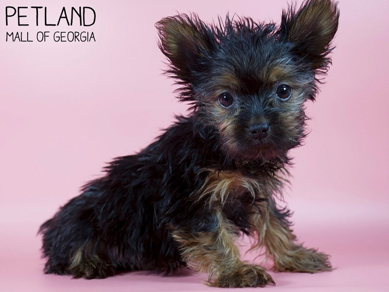 Yorkshire Terrier-Female-Black / Gold-2993232-Petland Mall of Georgia