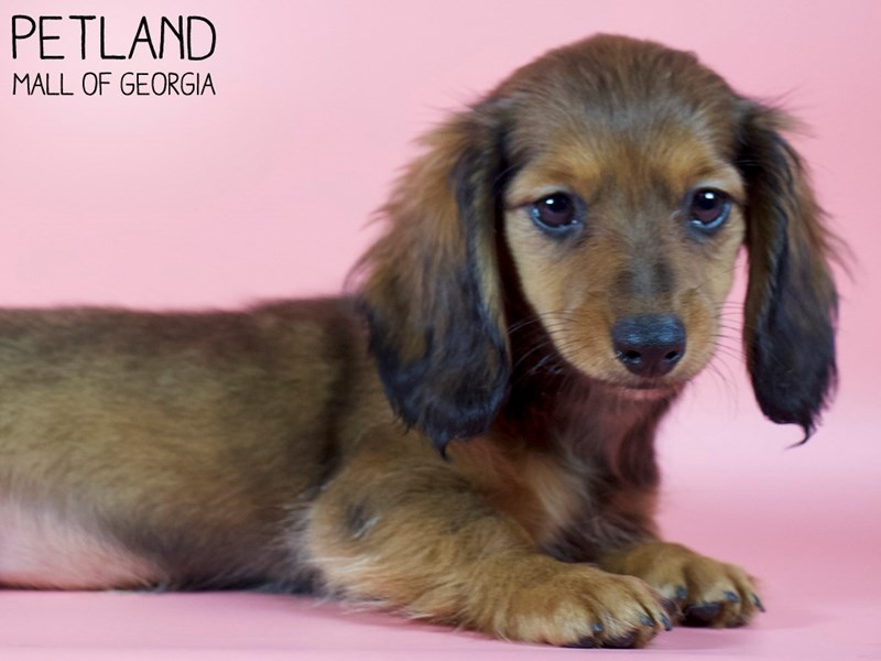 Dachshund-Female-Wild Boar-2993226-Petland Mall of Georgia
