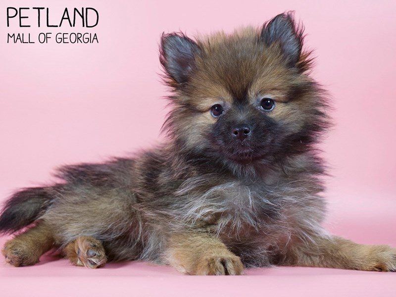 Pomeranian-Female-Wolf Sable-2993222-Petland Mall of Georgia