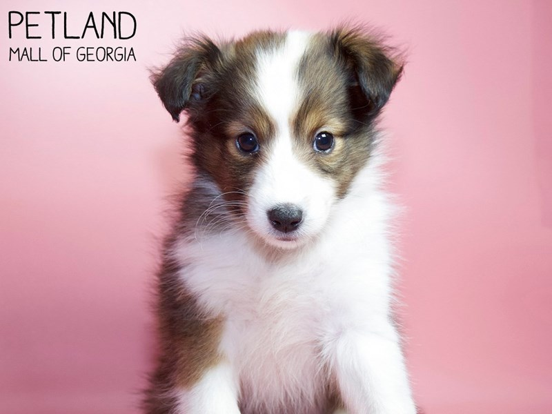 Shetland Sheepdog-Female-Sable / White-2984297-Petland Mall of Georgia