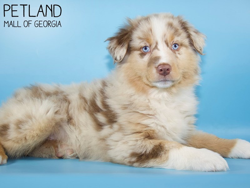 Australian Shepherd-Male-Red Merle-2971740-Petland Mall of Georgia