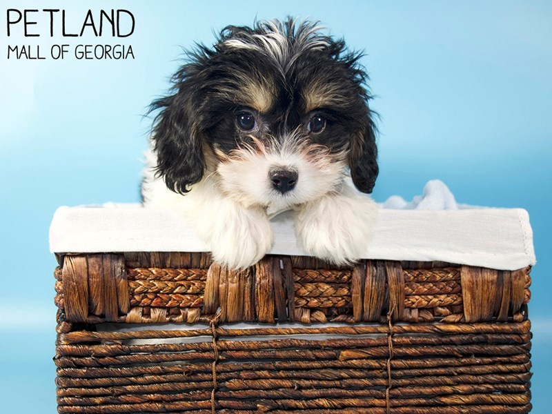 Cavachon-Male-Black White / Tan-3066793-Petland Mall of Georgia
