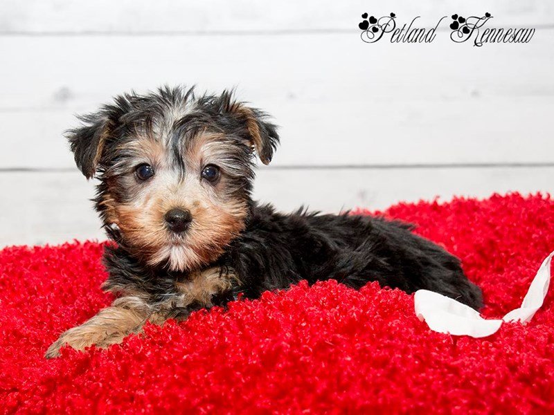 Silky Terrier-Female-BLK & TN-1728291-Petland Mall of Georgia