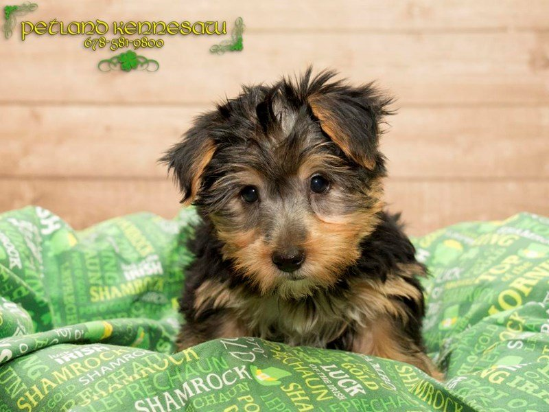 Silky Terrier-Female-Black / Tan-1739265-Petland Mall of Georgia